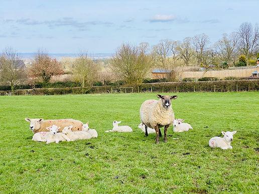 Nunnington Sheep.jpg