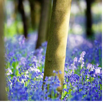 bluebells.PNG