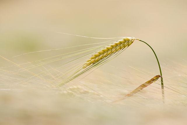 agrotecnipec semillas de cereal guisantes alfalfa veza girasol cebada trigo avena centeno maiz