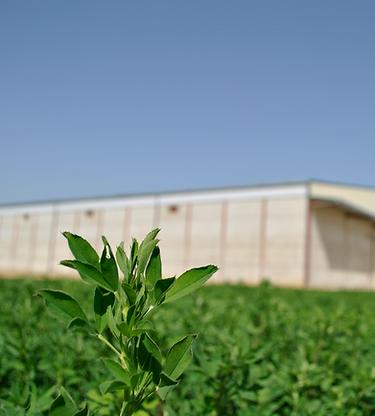 Alfalfa, Profopal Deshidratadora de forrajes