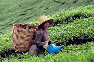 Malaysia : Tea fresh from the hills