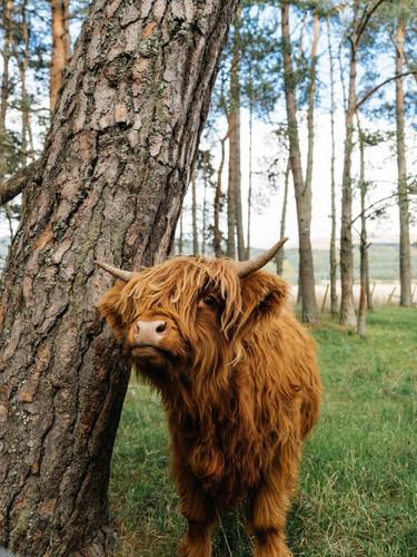 cow, highlands, Scotland_Unsplash.jpg