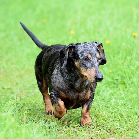 Wiener Dog Race Entry