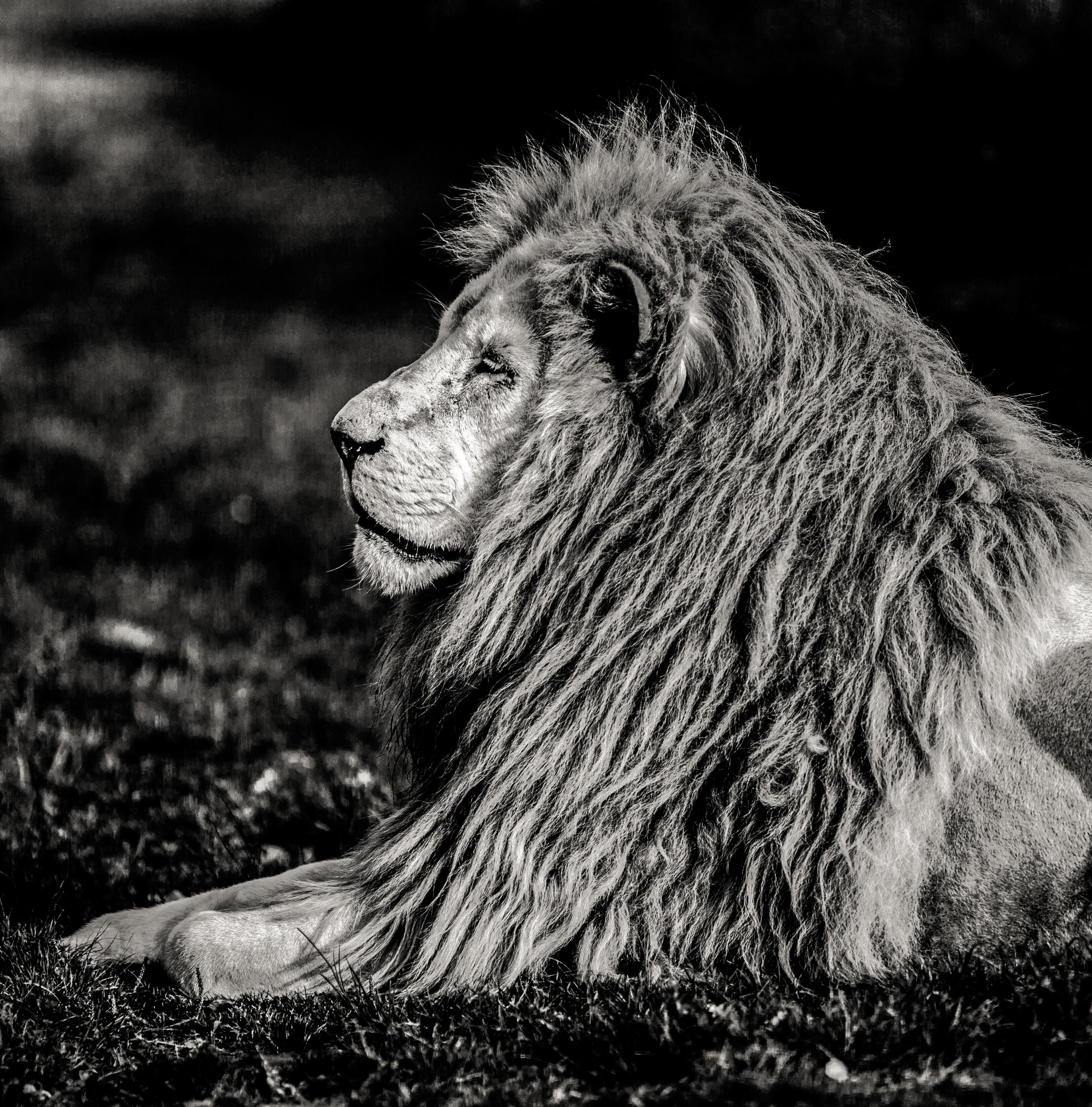 debadier_The white lion