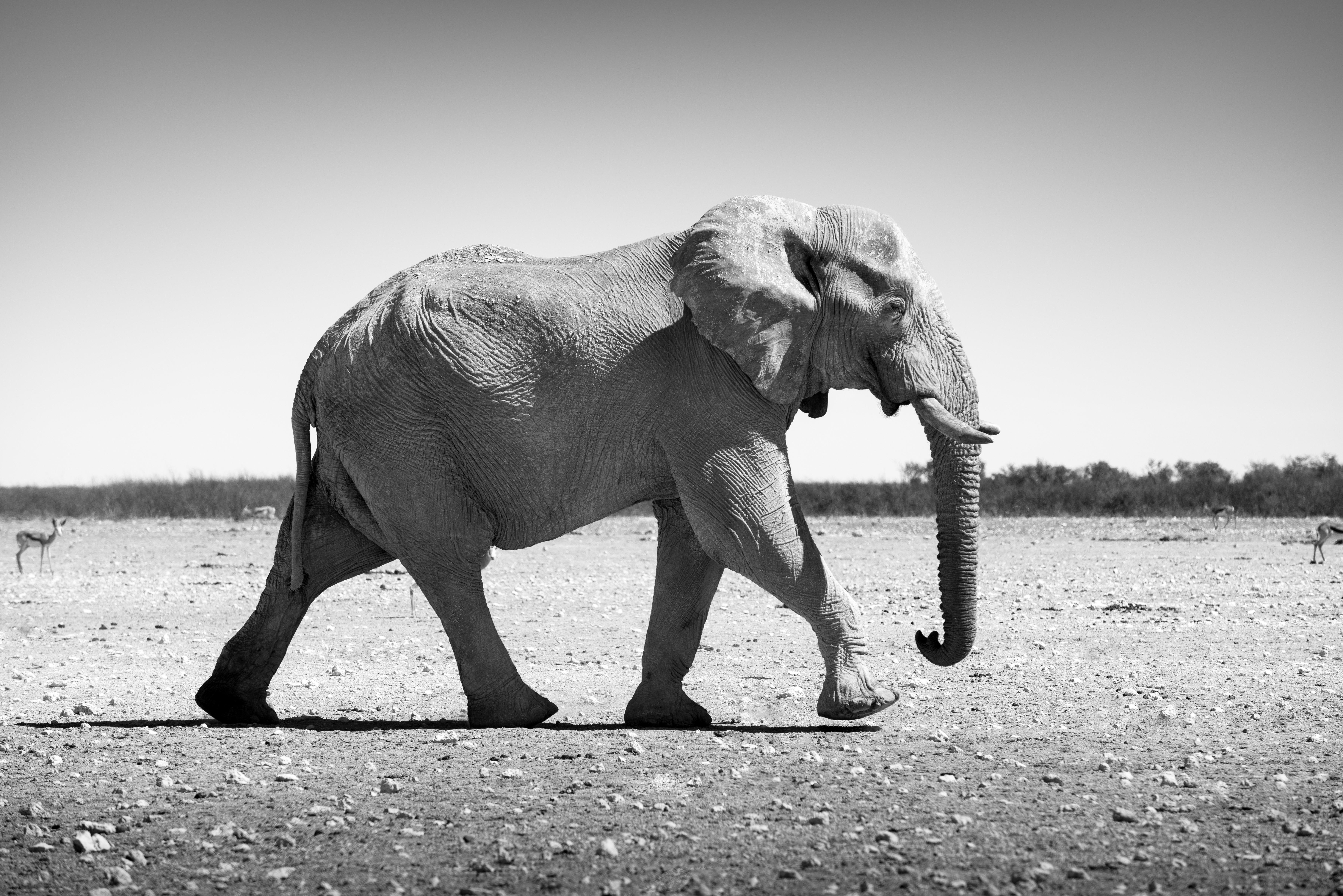Éléphant majestueux