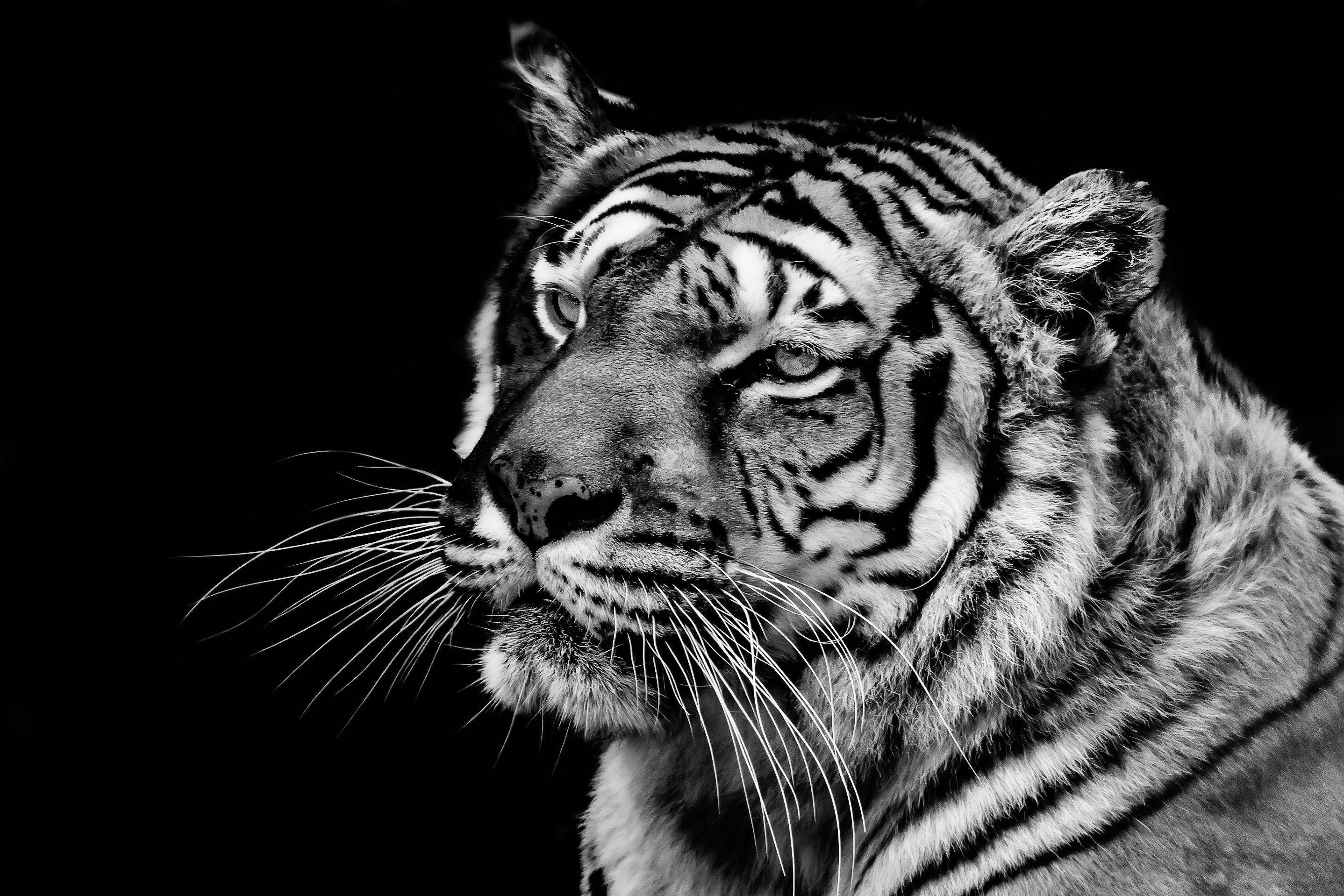 Tiger #4