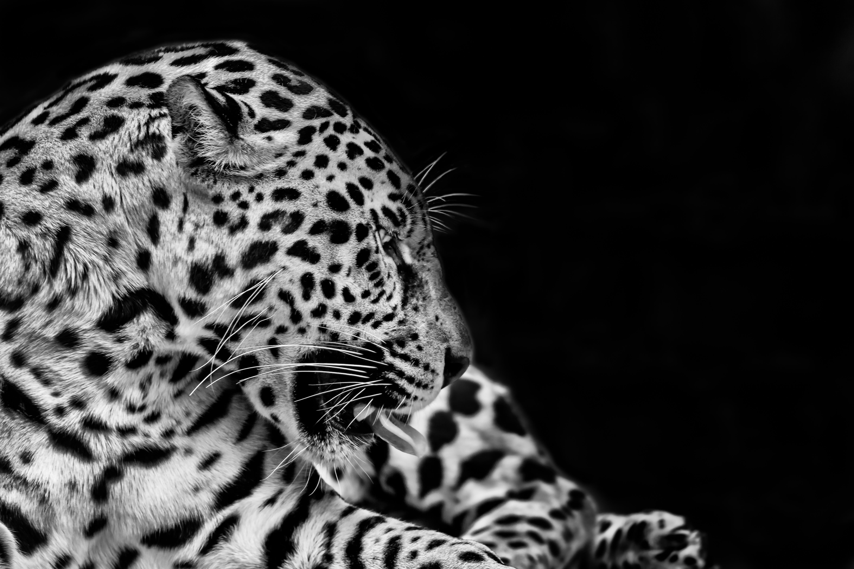 Mimique Jaguar