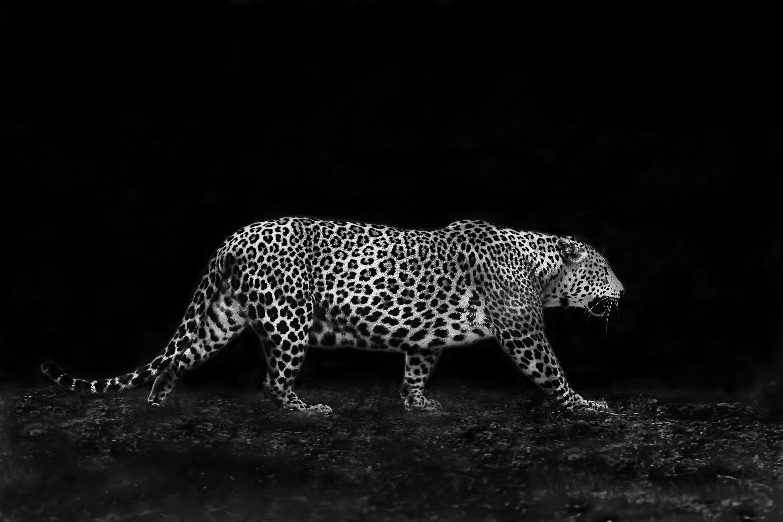 Jaguar P'tits Pas
