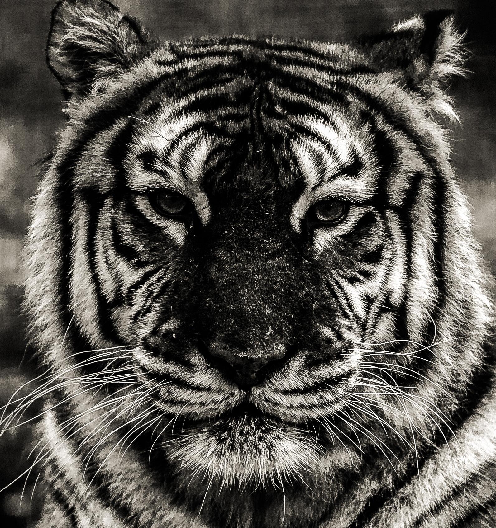 debadier_the tiger