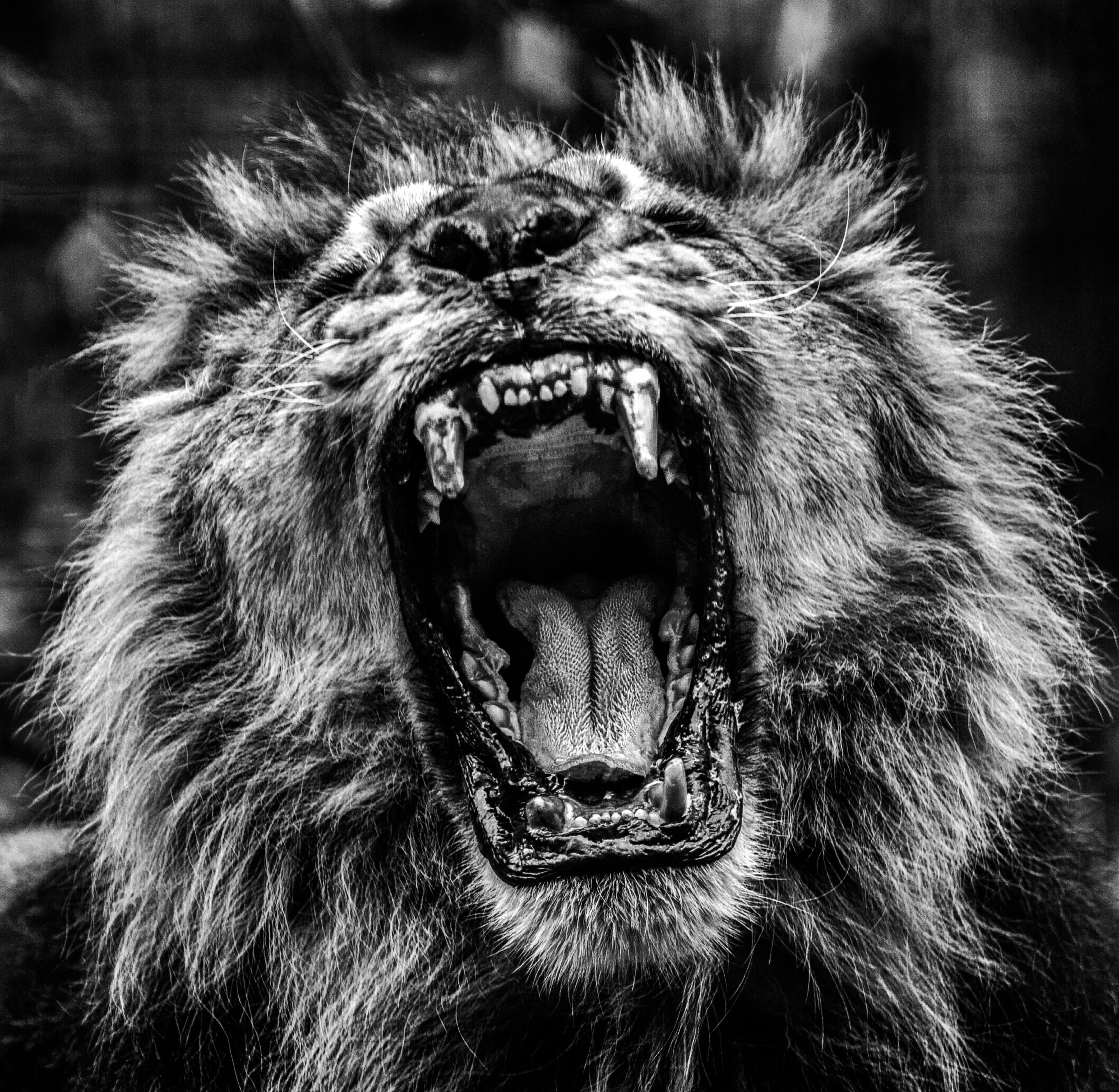 debadier_The lion