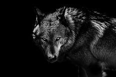 Appât de Loup.jpg