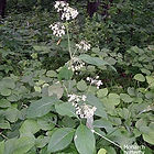 poke-milkweed-100_9385_edited.jpg