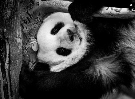 Panda-ing to the Neighbourhood