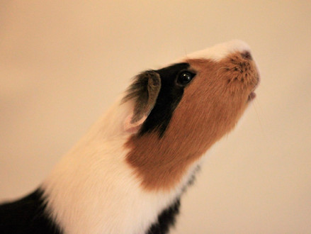 Writing Animals: A Place to Dump Guinea Pigs