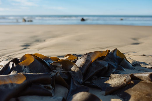 New Zealand Seaweed On The Beach