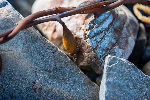 Macrocystis Seaweed And Rocks