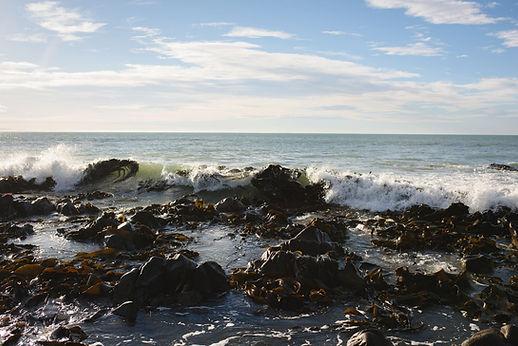 Macrocystis Seaweed In The Water