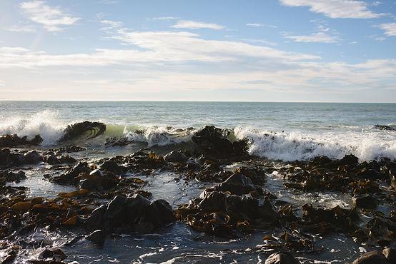 New Zealand Macrocystis Seaweed In The Ocean