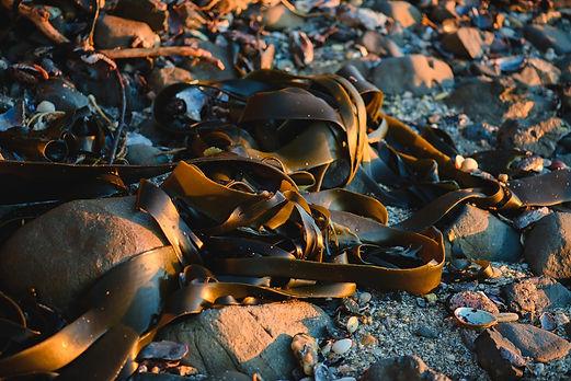 Close Up of New Zealand Seaweed