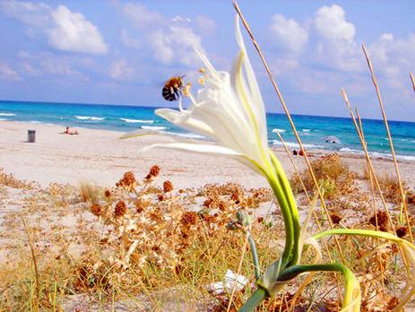 Gigli-crescono-spontanei-sulla-spiaggia-
