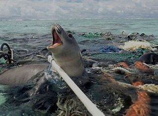 plastic-pollution-seal-trapped_edited.jp