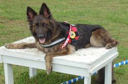 Service Dog Fenrir