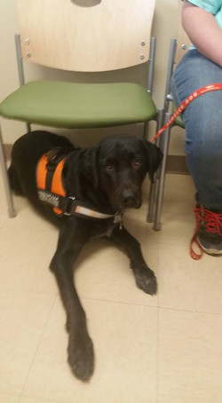 Service Dog In Training Rosco