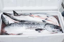 Sitka Salmon Fishing