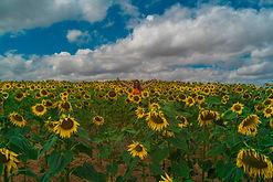 ilona sunflower2.jpg