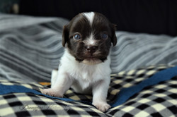 New Song Havanese puppy