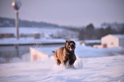 brown dog running in snow