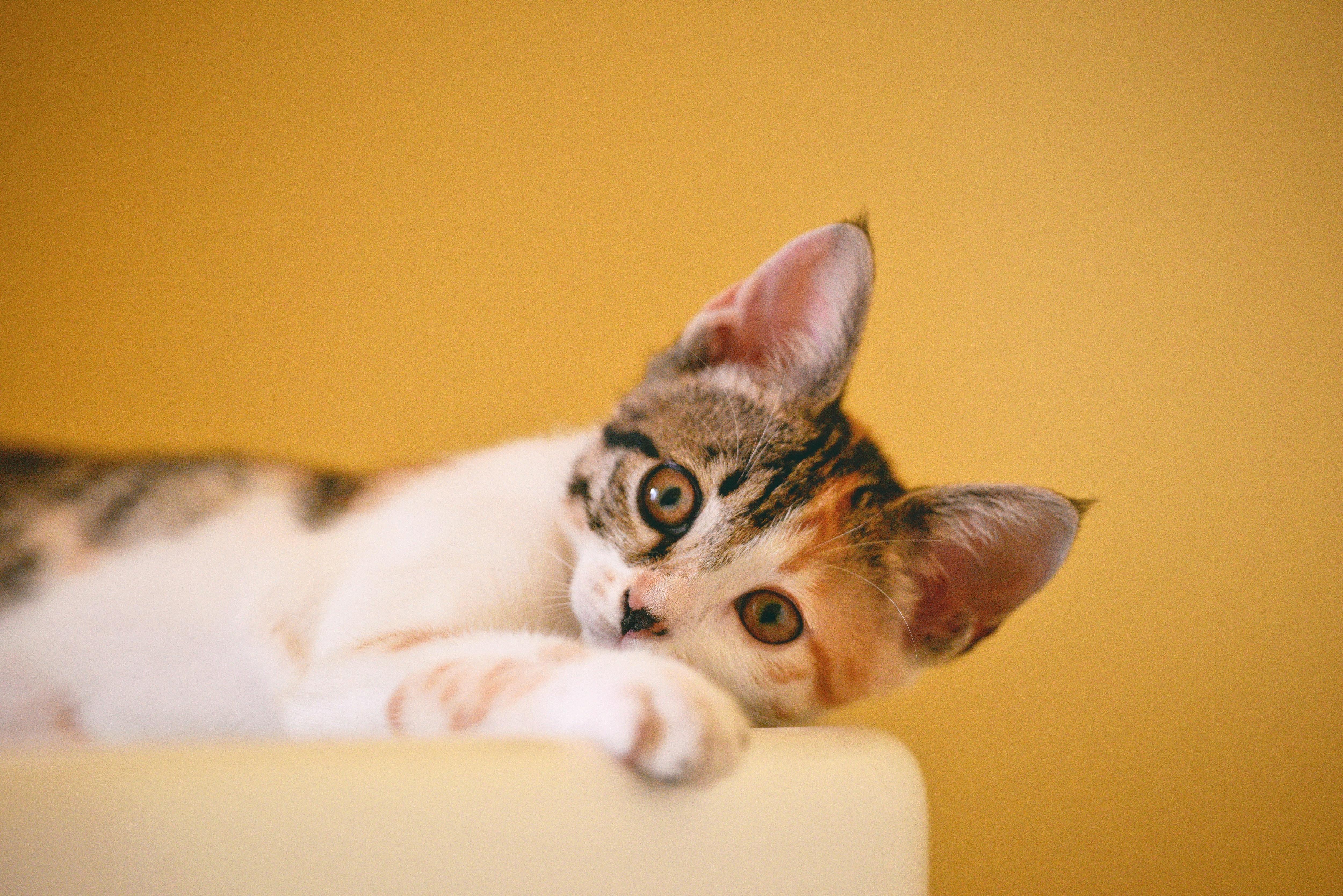 calico-cat-on-focus-photo-1404819