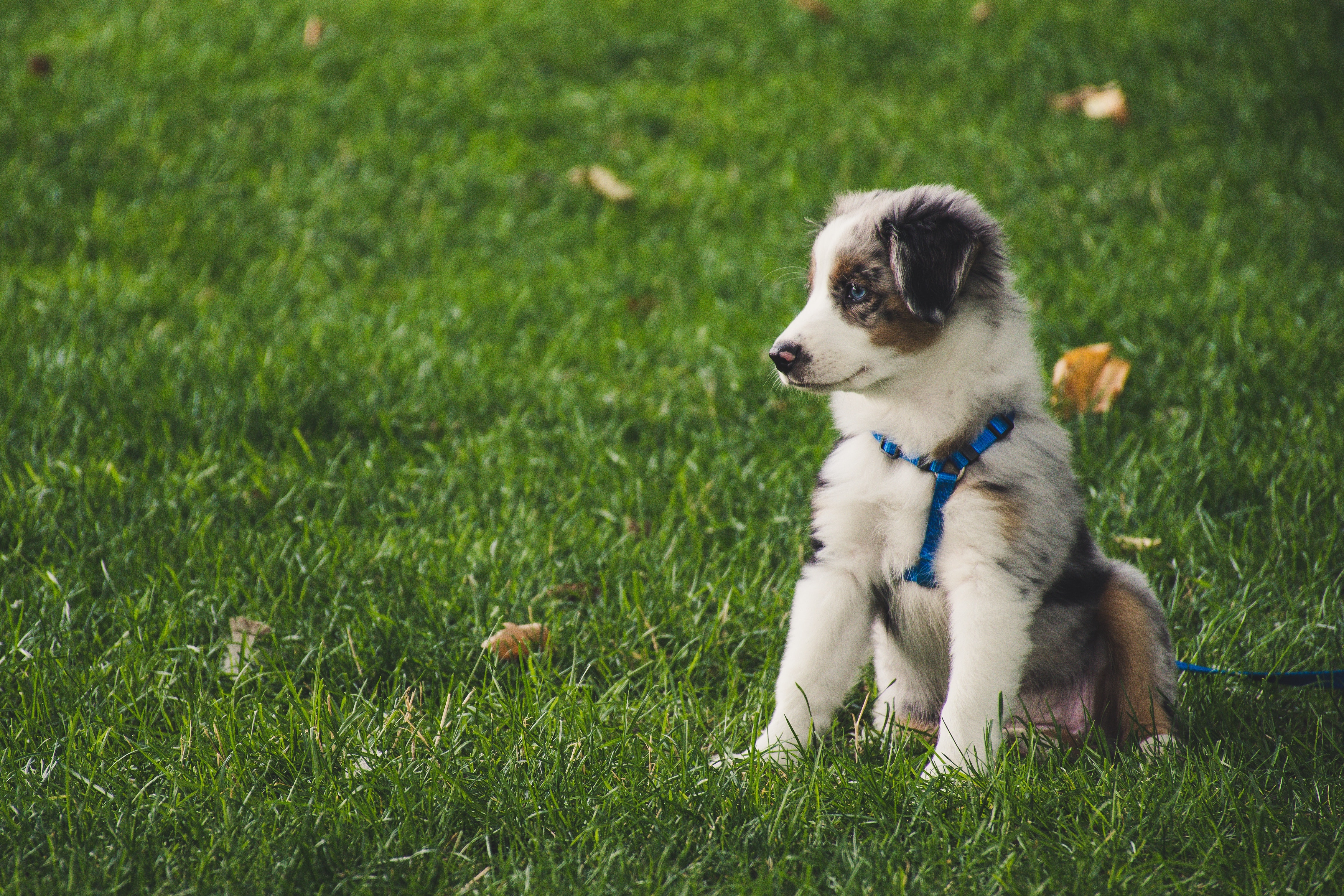 white-and-gray-australian-shepherd-puppy