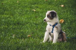 white-and-gray-australian-shepherd-puppy