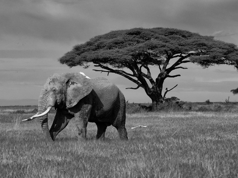 Elephant-39-crop suggestion and remove t