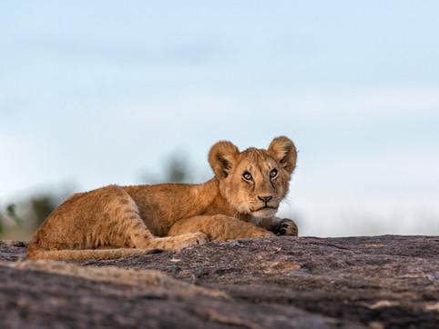 LION31
