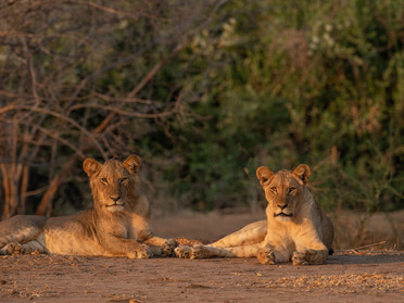 LION33
