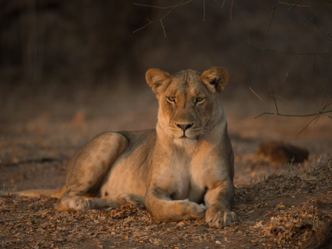 LION37