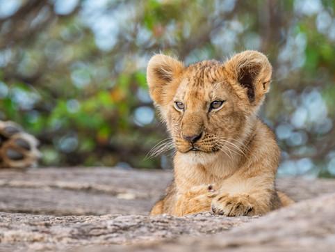 LION30