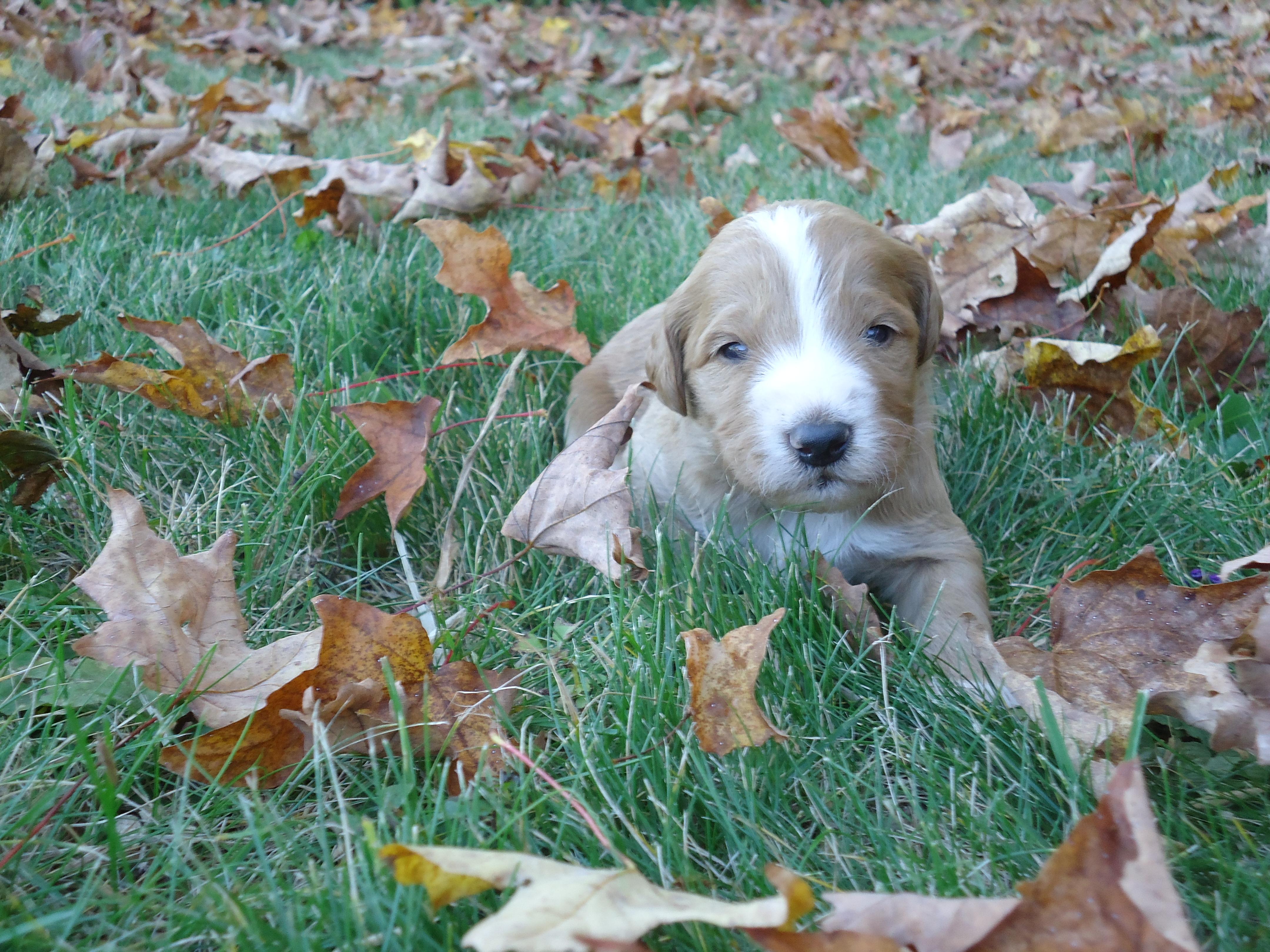 F1b Puppy born September 18, 2015