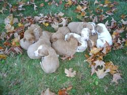 Elsa's First Litter of 11 puppies!