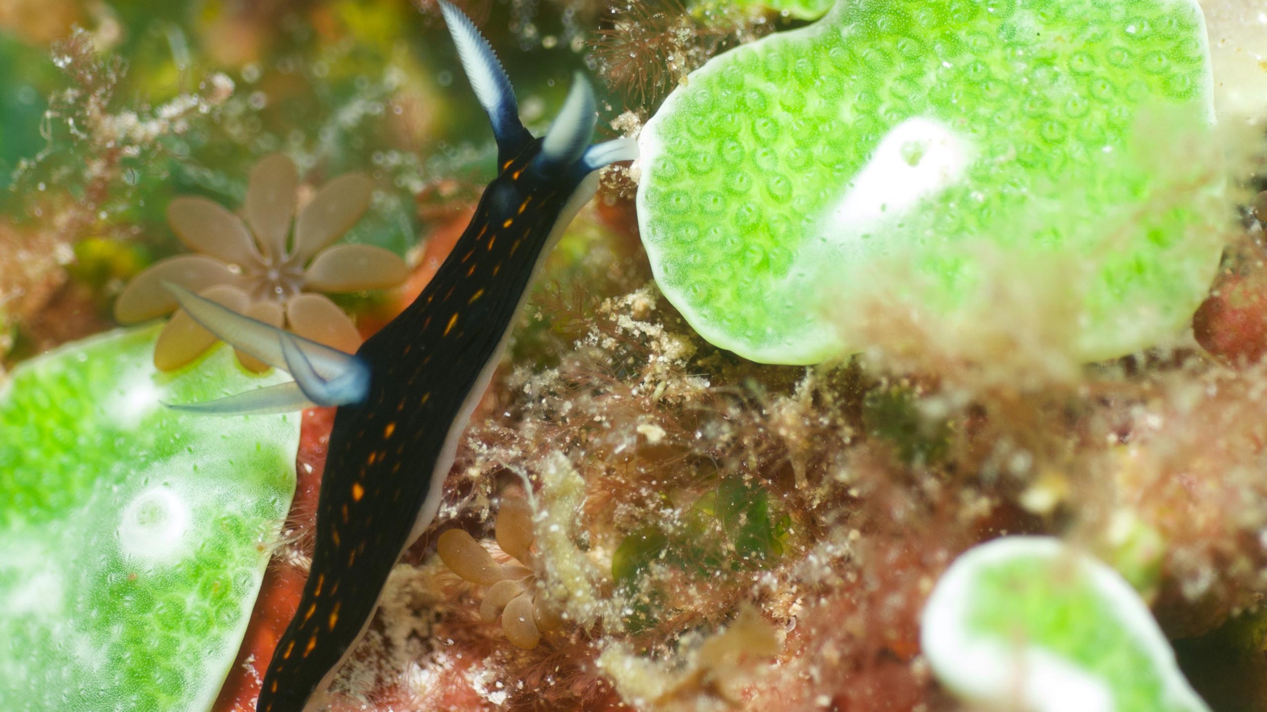 Nudibranch, credits Nima