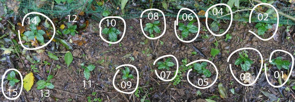plants-japonais-01-15