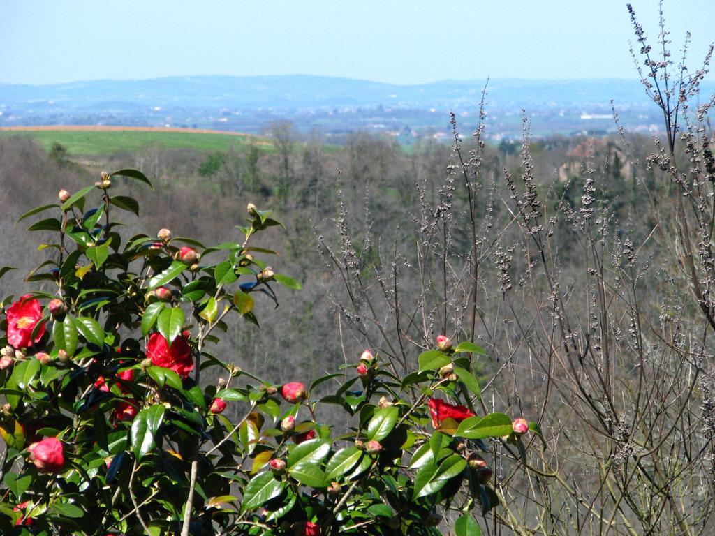 camellia 'Alphonse Karr' sur la vallée-r