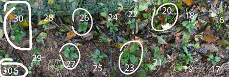 plants-japonais-16-30S.jpg