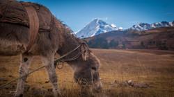 13 Peruvian Donkey - Peru