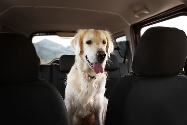 Golden Retriever Dog Sits Quietly in Back Seat Ready for Pet Taxi Ride to Groomer