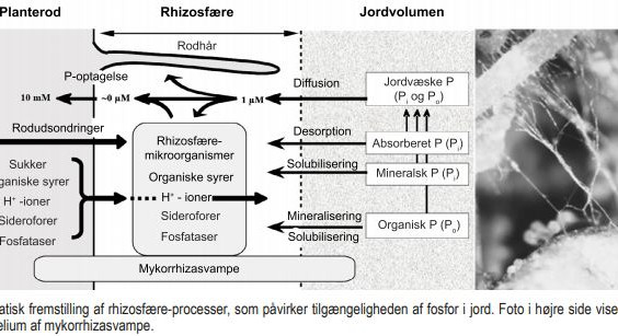 Mykorrhiza - den vigtige svamp i jorden