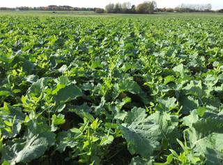 Efterafgrødearter til samdyrkning med vinterraps - shopFRDK lukker i 2020 for salg søndag d. 7. juni
