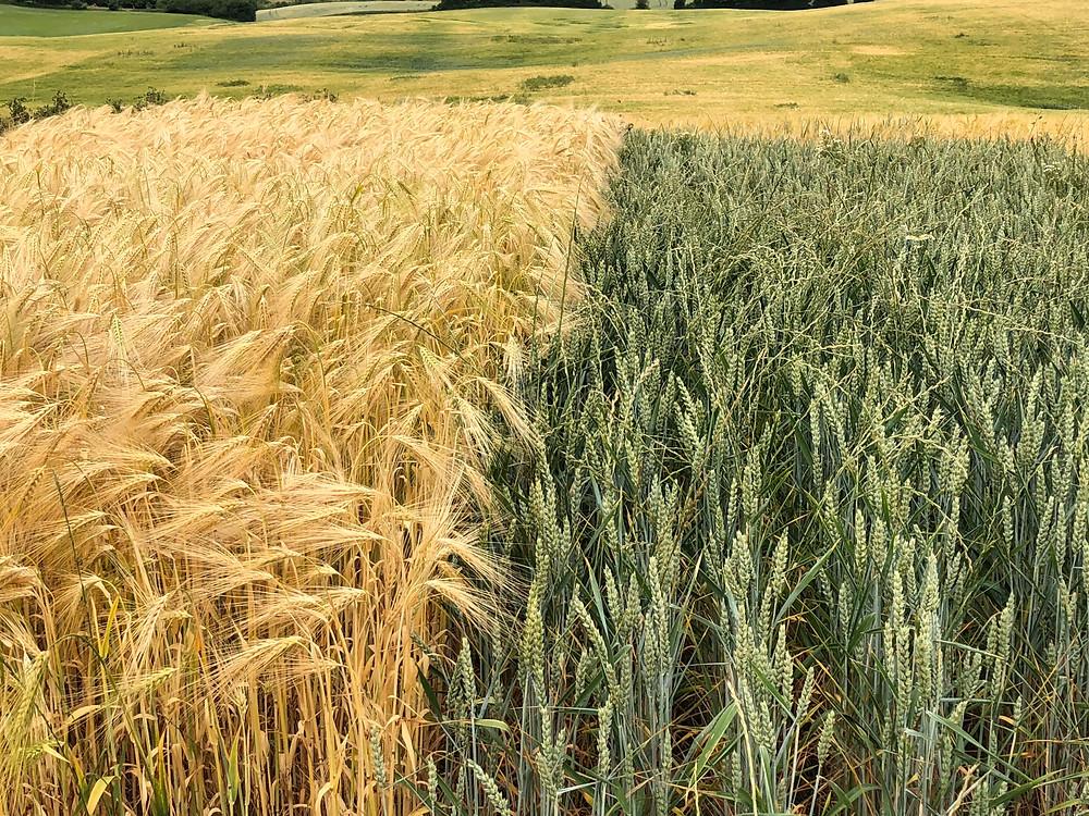 Meget mindre rajgræs i vinterbyggen end i hveden